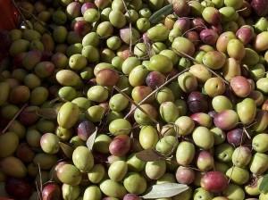 stesa-di-olive5