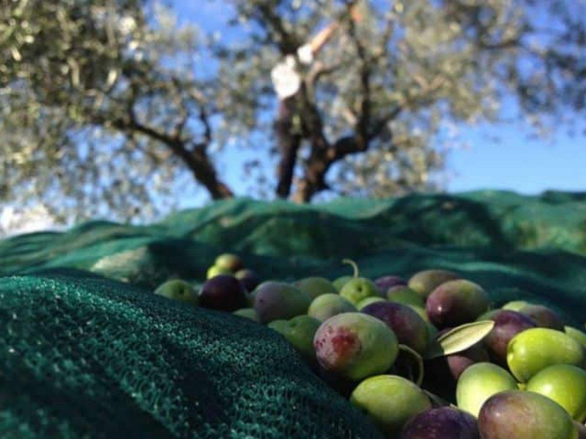 raccolta-delle-olive-1200x900