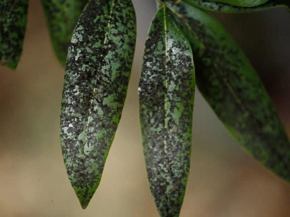 fumaggine-su-foglie-1-1200x900