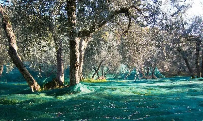 reti-per-raccogliere-le-olive-1-e1568304393319